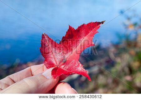 Hand Holding Red Leaf By Blue Water