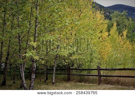 Colorado Aspen Trees Beginning To Show Their Fall Colors Alongside An Old Wooden Fence.