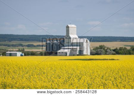 Yellow Canola Field With Grain Elevator In Distance