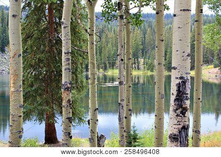 A Lake On Grand Mesa As Seen Through The Aspen Trees.