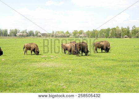 A Herd Of Bison Grazing In A Meadow