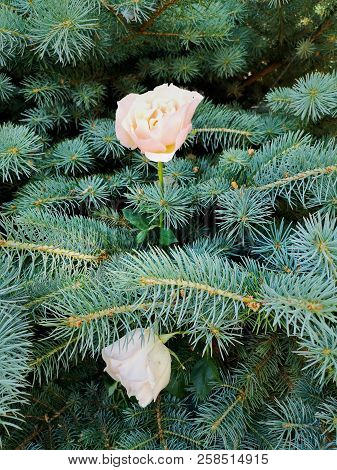 Beauty In Nature Close-up Coniferous Tree Day Flower Head Flowering Plant Fragility Freshness