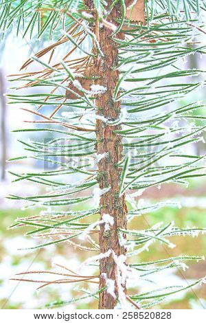 Coniferous Branches Covered With Hoarfrost. Winter Background. Christmas Tree Branch With Hoarfrost