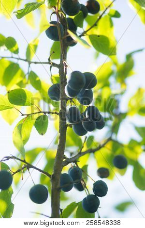 Blackthorn (sloe Or Prunus Spinosa) On Tree Branch