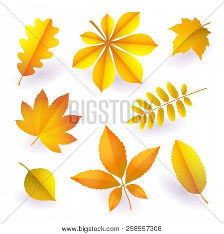 Set Of Isolated Bright Yellow Autumn Fallen Leaves. Elements Of Fall Foliage. Leaves Of Maple, Chest