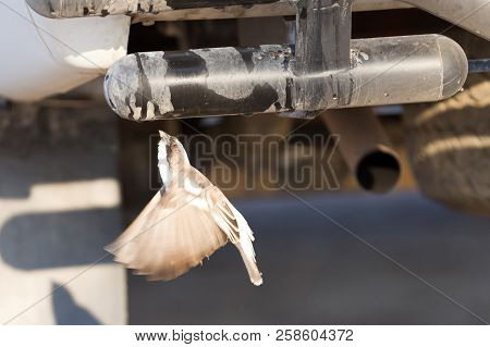 White Browed Weaver (plocepasser Mahali) Drinking Water From A Tap