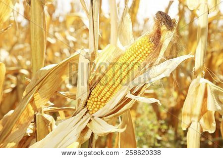 Ear Of Corn On Dry Plants In The Field On A Sunny Day