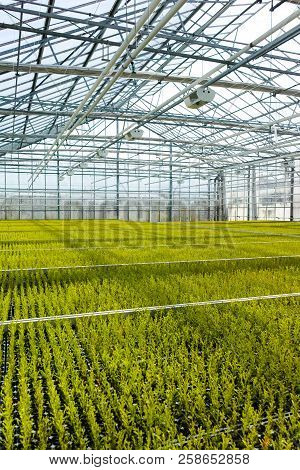 Cupressus Macrocarpa Gold Crest House Conifer Young Plants Growing In Dutch Greenhouse In Small Pots