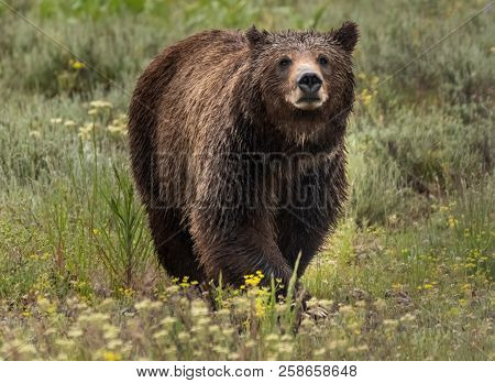 Large Grizzly Bear Looks Across Field In Wyoming Wilderness