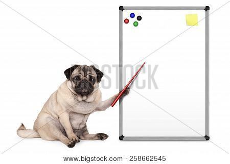 Serious Pug Puppy Dog Sitting Down, Pointing At Blank Empty White Board With Yellow Notes And Magnet