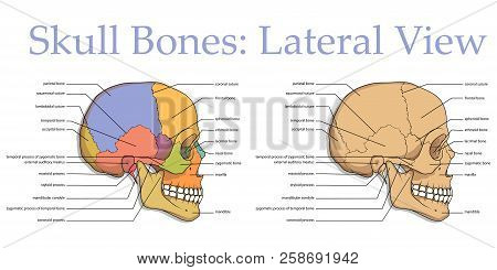 Human Skull. Medical Poster. Anatomical Medical Chart Poster Human Skull. Skull Bones. Poster For Tr