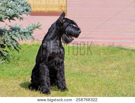Giant Schnauzer Looks Left. The Giant Schnauzer Stands On The Green Grass In City Park