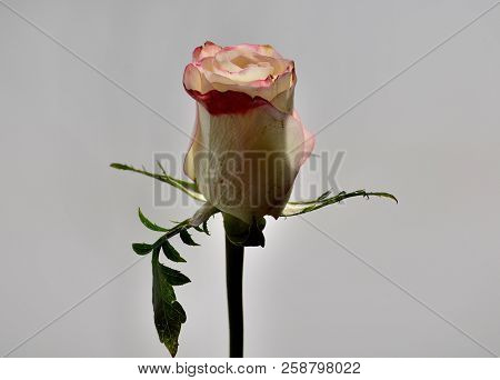 Rose Bud On A Gray Background, Omsk Region, Russia