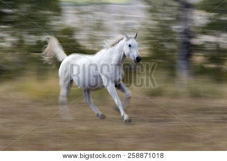 White Arabian Horse Running With Blur Background