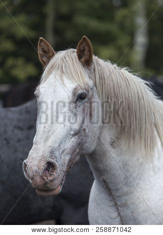 Head Of White Wyoming Ranch Horse, Mane