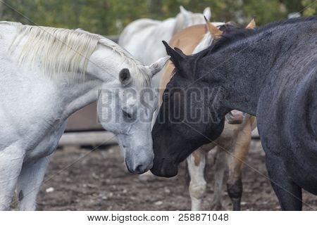 White And Black Ranch Horses Nuzzling In Wyoming Corral