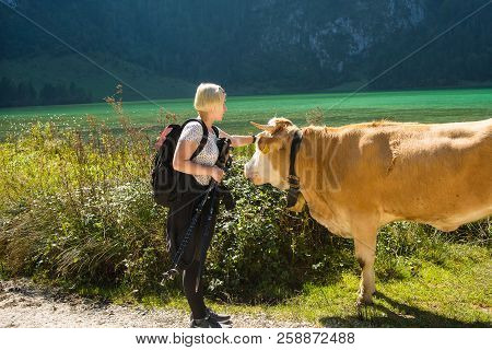 Schoenau,germany-september 16,2018: A Tourist Pats A Calf On The Head After A Hike In The Mountains.