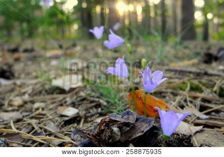 Forest Bells On A Glade In A Pine-deciduous Forest During Sunset. Against The Background Of Flowers