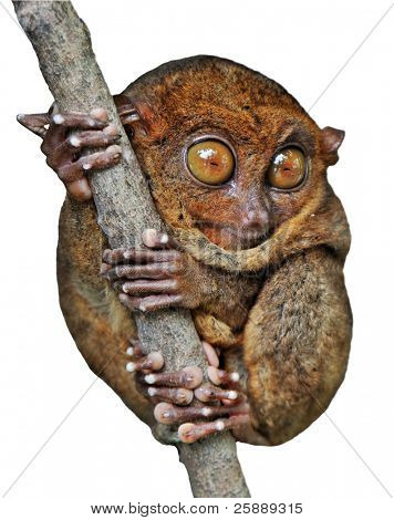 Isolated Phillippinian Tarsier on a Branch