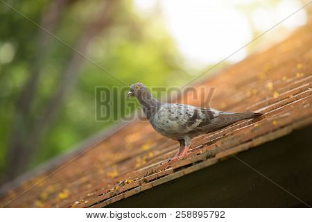 Pigeons And Doves Bird Roosting On The Roof Problem Animal In The City