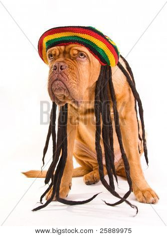 Funny Dog in Rastafarian Hat with Dreadlocks