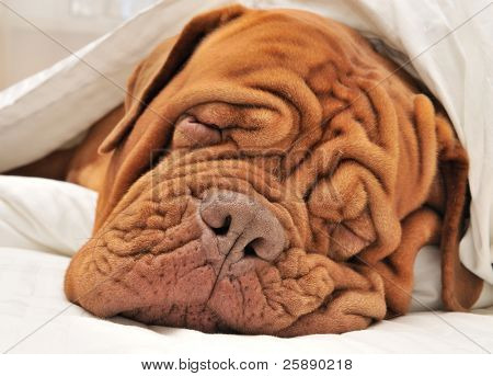 Wrinkled Dog Dogue De Bordeaux Dreaming in Bed with White Blanket