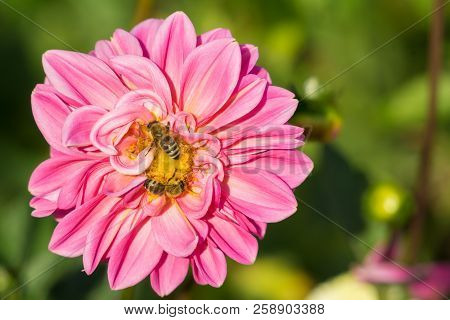 Close-up Of A Bees On A Beautiful Pink Ball Dahlia In The Summertime. View To A Purple Ball Dahlia O