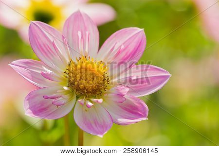 Close-up Of A Pink Dahlia Pooh Flower In The Morning Light.