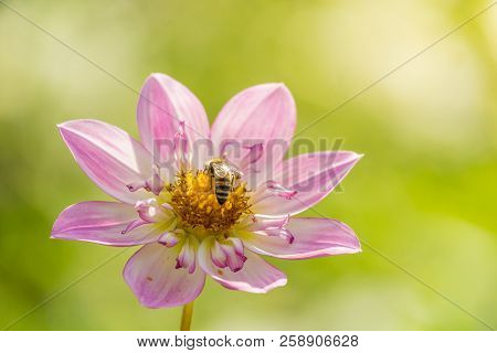 Close-up Of A Pink Dahlia Pooh Flower In The Morning Light. A Honey Bee On A Purple Dahlia Pooh Flow