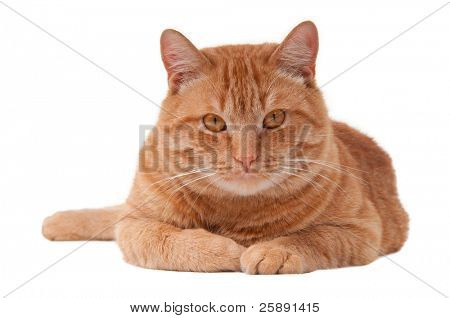 Proud ginger cat is lying, isolated on white background