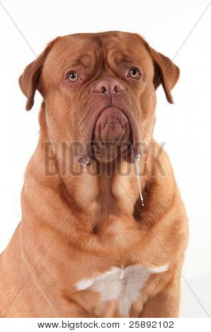 Dribbling dog of Dogue De Bordeaux Breed isolated on white background