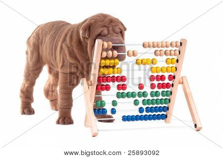 Sharpei puppy is learning how to count, isolated on white background