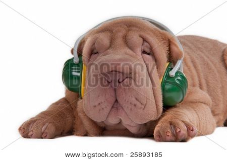 Sharpei puppy is listening to music on headphones isolated on white background