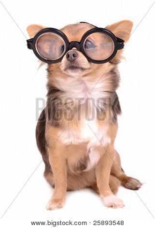 Cute chihuahua puppy with high diopter thick glasses, isolated on white background