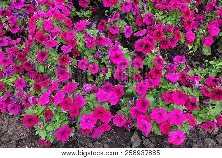 Florescence Of Magenta Colored Petunia From Above