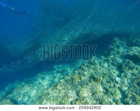 Sardine Colony And Diver In Open Sea Water. Massive Fish School Underwater Photo. Pelagic Fish Swimm