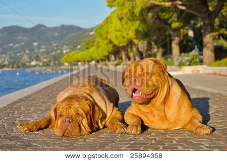 Two dogues de bordeaux lying on a paved alley bear the shore