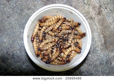 a cup of meal worms squiggle and wiggle around in a cup before being fed to turtles snakes fish and other animals