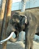 an elephant with its tusks repaired poster