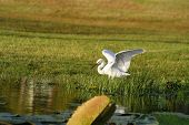 Great Egret hunting in the grass and river poster