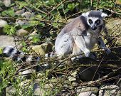A ring tailed lemur (Lemur Catta) in a natural environment of pine trees. The focus is on the face poster