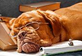 Dog Fell Asleep while doing her homework poster