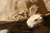 African Tortoise with dirty face and shell after playing in the mud. poster
