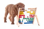 Sharpei puppy is learning how to count, isolated on white background poster