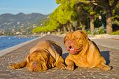 Two dogues de bordeaux lying on a paved alley bear the shore poster