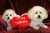 Fifi and Beau, both Bichon Frise's sit on a purple background with a Happy Valentine pillow poster