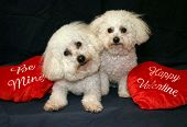 """Beau and Fifi Danger both Bichon Frise's sit with their """"Be Mine and Happy Valentine""""  hearts poster"""
