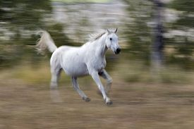 White Arabian Horse Running With Blur Background