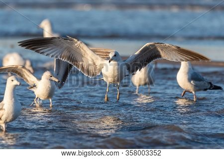 Large Flock Of Seagulls Wading In Shallow Ocean Water Part As Larger Bird Descends With Wide Wing Sp