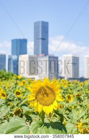 The fresh blooming sunflowers in field on the cityscape backgrounds,Fuzhou,Fujian,China